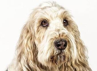 Стрижка собак Бровары фото 15