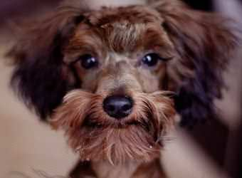 Стрижка собак Чернигов фото 21