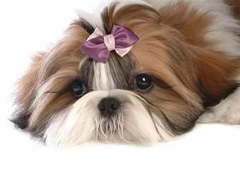 Стрижка собак Ужгород фото 26