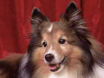 Стрижка собак Днепропетровск фото 6