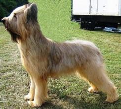 Стрижка собак породы Бриар фото 6