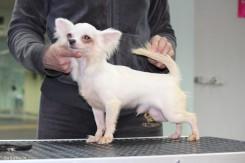 Стрижка собаки породы Чихуахуа фото 6