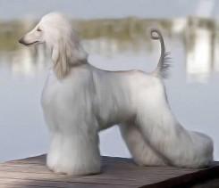 Стрижка афганской борзой собаки фото 1