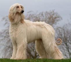 Стрижка афганской борзой собаки фото 6