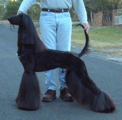 Стрижка афганской борзой собаки фото 2
