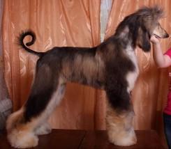 Стрижка афганской борзой собаки фото 5