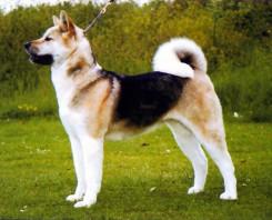 Стрижка собаки Акита-Ину фото 1