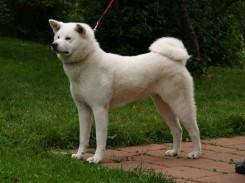 Стрижка собаки Акита-Ину фото 3