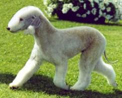 Стрижка собаки Бедлингтон-терьера фото 2