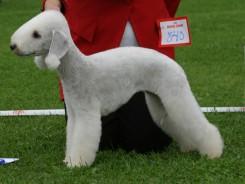 Стрижка собаки Бедлингтон-терьера фото 1