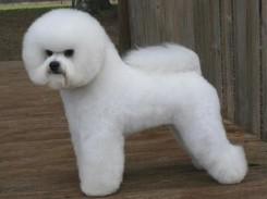 Стрижка собаки Бишон фризе фото 8