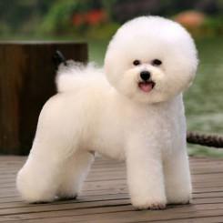 Стрижка собаки Бишон фризе фото 9