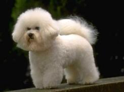 Стрижка собаки Бишон фризе фото 1