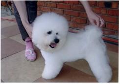 Стрижка собаки Бишон фризе фото 2
