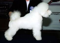 Стрижка собаки Бишон фризе фото 3