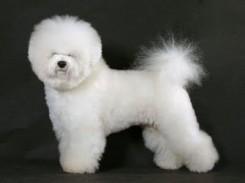 Стрижка собаки Бишон фризе фото 4