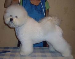 Стрижка собаки Бишон фризе фото 5