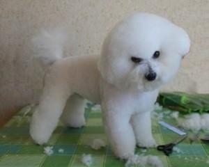 bishon1