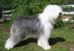 Стрижка собаки Бобтейла фото 2