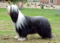 Стрижка собаки Бобтейла фото 3