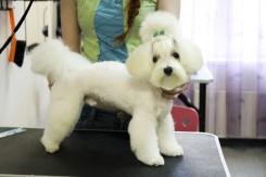 Стрижка собаки Мальтийской Болонки фото 1