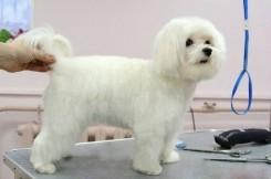 Стрижка собаки Мальтийской Болонки фото 3