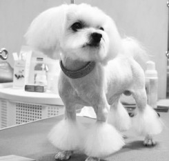 Стрижка собаки Мальтийской Болонки фото 9
