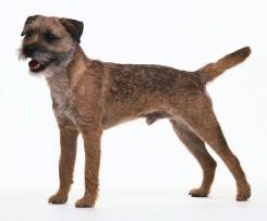 border_terrier-3