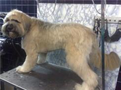 Стрижка собак породы Бриар фото 5