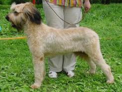 Стрижка собак породы Бриар фото 4