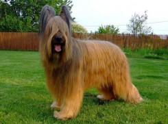 Стрижка собак породы Бриар фото 3