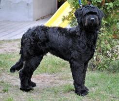 Стрижка собак породы Бриар фото 2