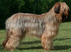 Стрижка собак породы Бриар фото 1