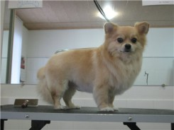Стрижка собаки породы Чихуахуа фото 5
