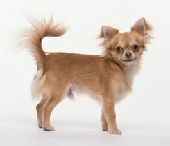 Стрижка собаки породы Чихуахуа фото 4