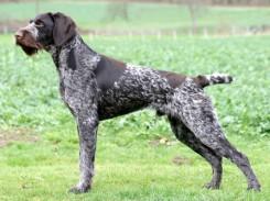 Стрижка собаки Дратхаара фото 1