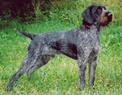 Стрижка собаки Дратхаара фото 3