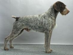 Стрижка собаки Дратхаара фото 2