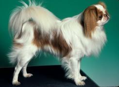 Стрижка собаки породы Японский Хин фото 2