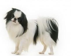 Стрижка собаки породы Японский Хин фото 3