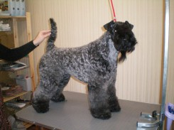 kerry_blue_terrier1