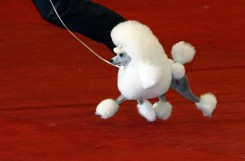 TO GO WITH AFP STORYFrench Poodle Ch.