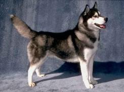 Стрижка собаки породы сибирского хаски фото 1