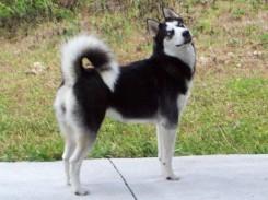Стрижка собаки породы сибирского хаски фото 2