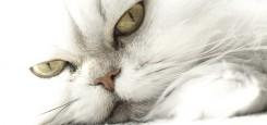 strijka-dlinosherstnih-kotov