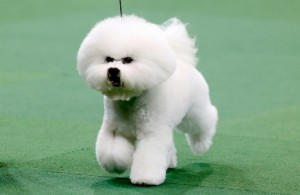 honor-a-bichon-frise-and-w-jpg