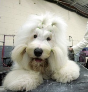 old_english_sheepdog1