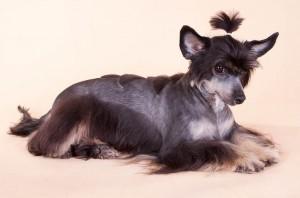 Причёска китайской хохлатой собаки_фото