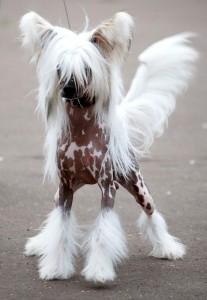 китайская хохлатая собака_фото