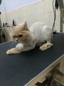 Стрижка кота, Львов